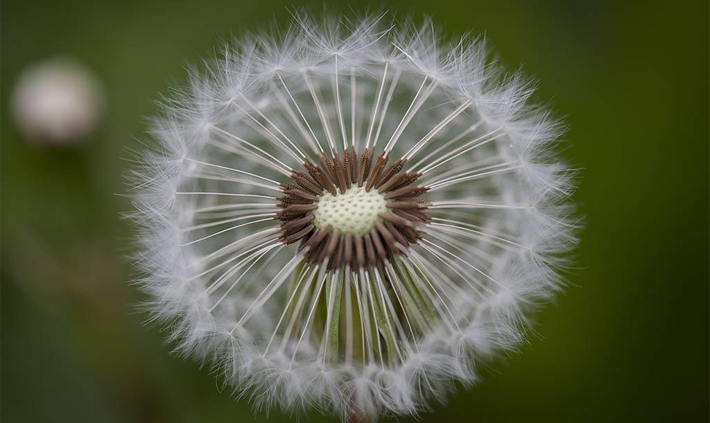 Pusteblume als Symbol gegen Angst beim Zahnarzt